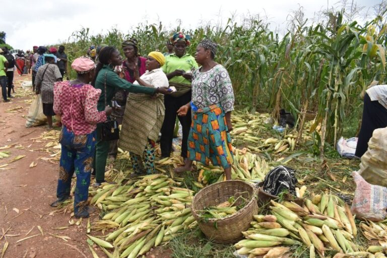 DIVIDENDS OF TOWN AND GOWN RELATIONSHIP: Traders Storm Maize Farm As FUNAAB Records Bumper Harvest